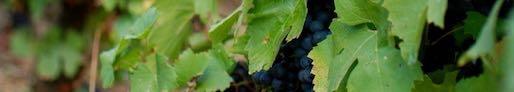 vigne et raisin bandeau